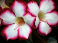 Adenium Obesum Desert Rose Love Valentine 5 Fresh Seeds